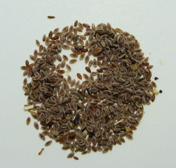 psyllium seed, blond