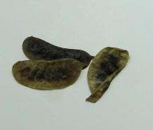 senna leaf pods